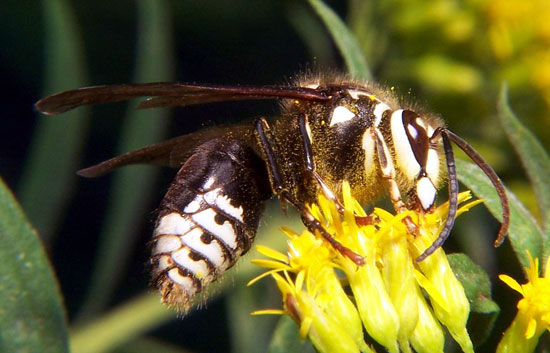 Information About Bees Wasps Hornets Honey Yellowjackets