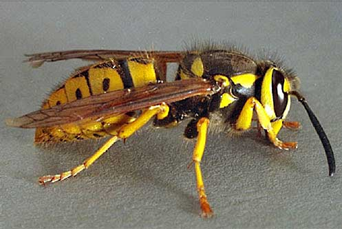Wasp that looks like a yellow jacket 11