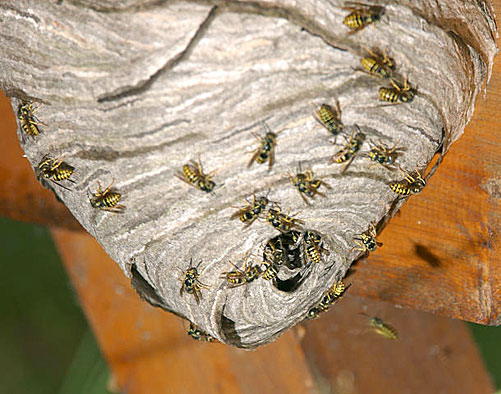 Yellow Jackets Vespula Maculifrons Germanica Vulgaris